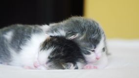 Due gattini neonati svegli dormono lavoro di squadra sullo stile di vita del letto concetto degli animali domestici di concetto d video d archivio