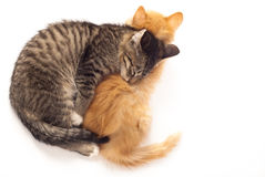 Due gattini sonnolenti Immagine Stock