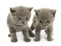 Due gattini sopra bianco Fotografia Stock Libera da Diritti