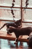 Due gattini stanno giocando vicino alla finestra Fotografie Stock Libere da Diritti