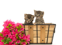 Due gattini svegli del tabby Immagini Stock