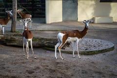 Due gazzelle nello zoo di Francoforte fotografia stock