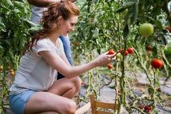 Due genti si raccolgono prendono il raccolto del pomodoro in serra fotografia stock libera da diritti