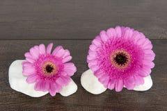 Due gerbere rosa su quattro rocce bianche Immagine Stock