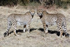 Due ghepardi. Fotografia Stock
