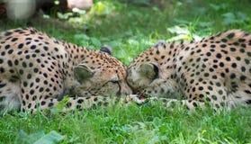 Due ghepardi che combattono con il pezzo di acinonyx Jubatus della carne Immagine Stock Libera da Diritti