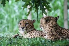 Due ghepardi che si trovano nell'erba immagine stock