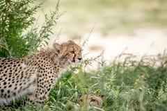 Due ghepardi nelle alte erbe Fotografie Stock
