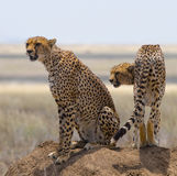 Due ghepardi sulla collina nella savana kenya tanzania l'africa Sosta nazionale serengeti Maasai Mara Fotografie Stock Libere da Diritti