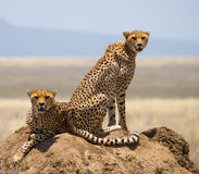 Due ghepardi sulla collina nella savana kenya tanzania l'africa Sosta nazionale serengeti Maasai Mara Immagini Stock