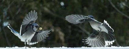Due ghiandaie azzurre americane che volano nella neve Fotografia Stock Libera da Diritti