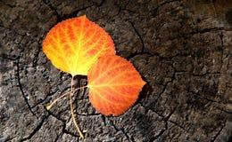 Due gialli e Aspen Leaves arancio su un ceppo di albero Immagine Stock