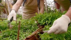 Due giardinieri professionisti stanno preoccupando per i germogli e le piantine in serra, primo piano delle mani stock footage