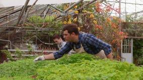 Due giardinieri professionisti stanno preoccupando per i germogli e le piantine in serra, primo piano delle mani video d archivio
