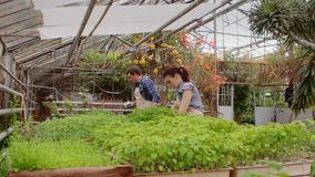 Due giardinieri professionisti stanno preoccupando per i germogli e le piantine in serra, primo piano delle mani archivi video