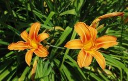 Due gigli arancioni Immagini Stock