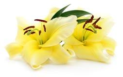 Due gigli gialli Immagine Stock Libera da Diritti