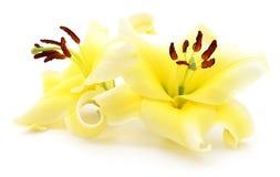 Due gigli gialli Immagini Stock