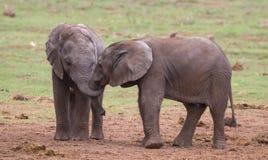 Due giovani amici degli elefanti Immagini Stock Libere da Diritti