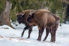 Due giovani bisonti europei su neve fotografie stock libere da diritti