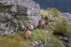 Due giovani camosci della montagna nel selvaggio Montagne di Tatra poland Immagine Stock Libera da Diritti