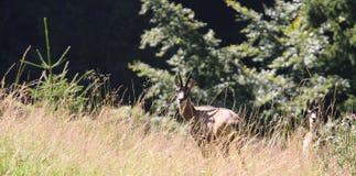 due giovani cervi che si nascondono nelle alpi delle montagne dell'erba Fotografie Stock