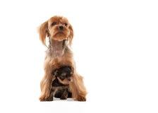 Due giovani cuccioli adorabili dell'Yorkshire terrier Immagine Stock