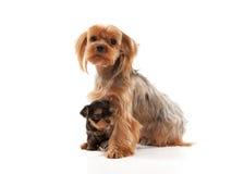 Due giovani cuccioli adorabili dell'Yorkshire terrier Fotografie Stock