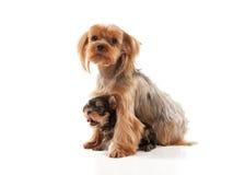 Due giovani cuccioli adorabili dell'Yorkshire terrier su backg bianco Immagini Stock