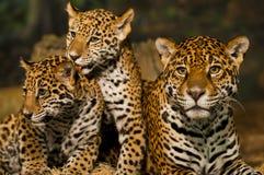 Famiglia di Jaguar Fotografia Stock