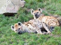 Due giovani iene sonnolente Fotografie Stock