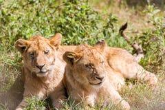 Due giovani leoni in Serengeti Fotografie Stock Libere da Diritti