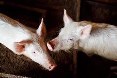 Due giovani maiali in un granaio sull'azienda agricola domestica, fango Fotografia Stock Libera da Diritti