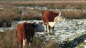 Due giovani mucche che pascono su una regione paludosa fredda e nevosa vicino a Stafford, Regno Unito archivi video