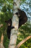 Due giovani orsi neri (ursus americanus) si nascondono in albero Immagini Stock