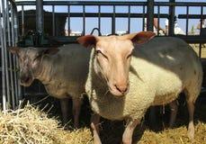 Due giovani pecore fotografia stock libera da diritti