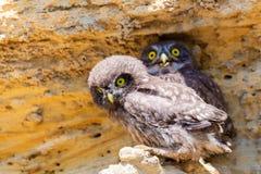 Due giovani pulcini della civetta vicino al nido su terra Fotografia Stock