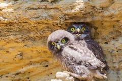 Due giovani pulcini della civetta vicino al nido su terra Fotografie Stock