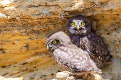 Due giovani pulcini della civetta vicino al nido su terra Fotografia Stock Libera da Diritti