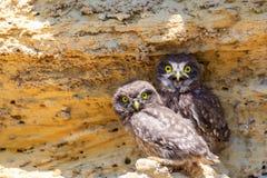 Due giovani pulcini della civetta vicino al nido su terra Immagini Stock