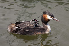 Due giovani uccelli sul suo indietro Fotografia Stock Libera da Diritti