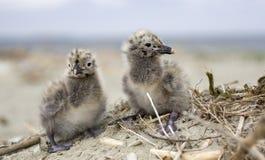 Due giovani uccelli svegli Immagini Stock
