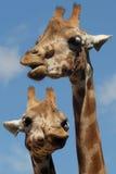 Due giraffe Fotografie Stock
