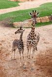 Due giraffe Illustrazione Vettoriale