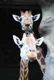 Due giraffe Fotografia Stock