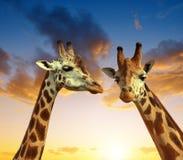 Due giraffe Immagini Stock Libere da Diritti