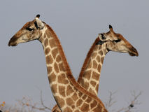 Due giraffe Fotografia Stock