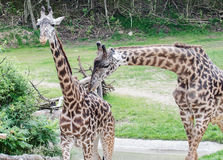 Due giraffe Immagini Stock
