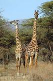 Due giraffe che si levano in piedi fra gli alberi dell'acacia Immagini Stock Libere da Diritti