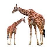Due giraffe isolate Fotografie Stock Libere da Diritti